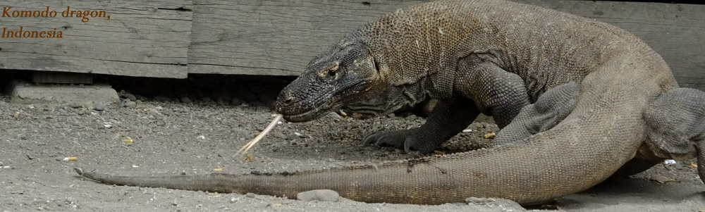 053 - Komodo dragon.jpg